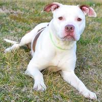 Adopt A Pet :: Blue - Westampton, NJ