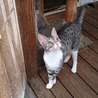 Adopt A Pet :: Tommi Girl - Land O Lakes, FL
