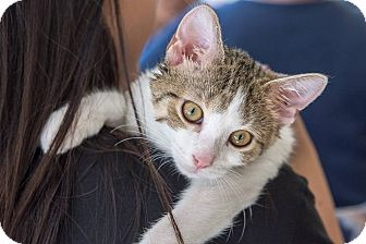 Domestic Shorthair Kitten for adoption in New York, New York - Biscuit