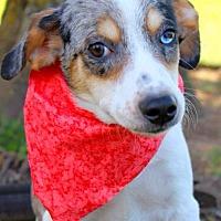 Adopt A Pet :: Jingle - Batesville, AR