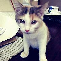 Adopt A Pet :: Ti-Amo - Trevose, PA