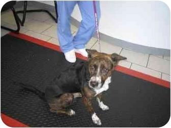 Australian Cattle Dog Mix Dog for adoption in Long Beach, New York - Annie