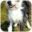 Photo 2 - Wirehaired Fox Terrier/Boston Terrier Mix Dog for adoption in Pawling, New York - PEPPER