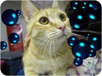 Domestic Shorthair Cat for adoption in Pueblo West, Colorado - Sally