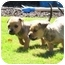 Photo 1 - Shepherd (Unknown Type)/Labrador Retriever Mix Puppy for adoption in Vista, California - Meatball and Charley