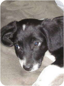 Border Collie/Beagle Mix Puppy for adoption in Columbia, Illinois - Spike