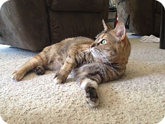 Domestic Shorthair Cat for adoption in Modesto, California - Libby