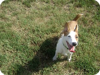 Corgi/Jack Russell Terrier Mix Dog for adoption in Inola, Oklahoma - sarge