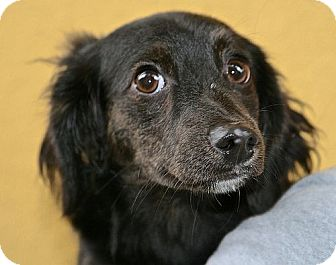 Dachshund Mix Puppy for adoption in Berkeley, California - Miranda