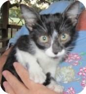 Domestic Shorthair Kitten for adoption in Schertz, Texas - Mojave