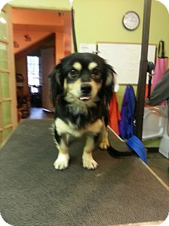Spaniel (Unknown Type)/Chihuahua Mix Dog for adoption in Brattleboro, Vermont - Tailz