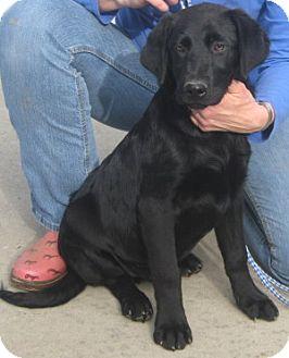 Labrador Retriever Dog for adoption in Newberry, South Carolina - Hunter
