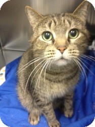 Domestic Shorthair Cat for adoption in Schererville, Indiana - Sonny
