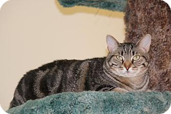 Domestic Shorthair Cat for adoption in Trevose, Pennsylvania - Daisy