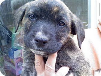 Retriever (Unknown Type) Mix Puppy for adoption in Albany, New York - Nash