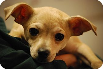 Chihuahua Puppy for adoption in Coventry, Rhode Island - Jake