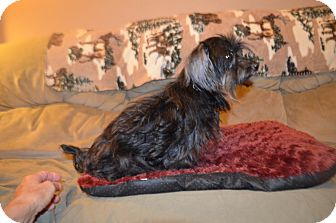 Yorkie, Yorkshire Terrier/Poodle (Toy or Tea Cup) Mix Dog for adoption in Weeki Wachee, Florida - Jack