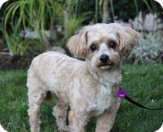 Poodle (Miniature) Mix Dog for adoption in Newport Beach, California - AXEL
