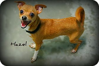 Chihuahua Mix Dog for adoption in Vancleave, Mississippi - Hazel