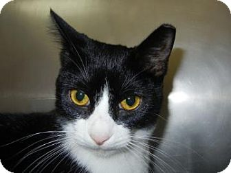 Domestic Shorthair Cat for adoption in Miami, Florida - Lucian