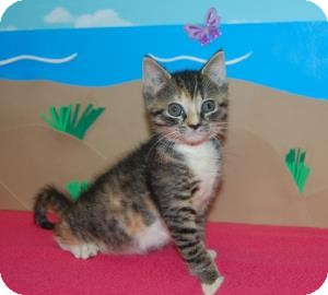Domestic Mediumhair Kitten for adoption in Bradenton, Florida - Mona