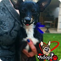 Adopt A Pet :: Pepper - Huntington Beach, CA