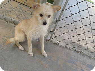 Wirehaired Fox Terrier Mix Dog for adoption in San Antonio, Texas - Cooper