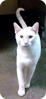 Domestic Mediumhair Kitten for adoption in New York, New York - Jin