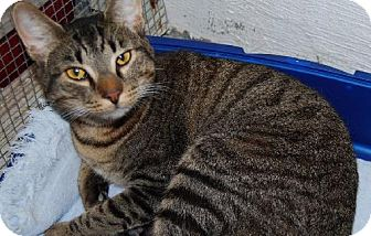Domestic Shorthair Cat for adoption in Wetumpka, Alabama - #81977 'Jerry G'