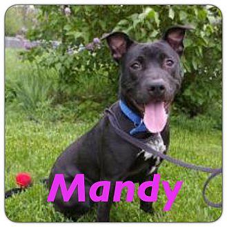 Labrador Retriever/Pit Bull Terrier Mix Dog for adoption in Grand Ledge, Michigan - Mandy