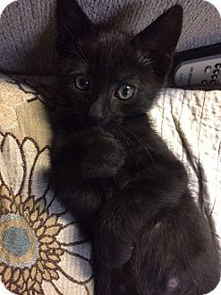 Domestic Shorthair Kitten for adoption in Huntington, New York - KANGAROO