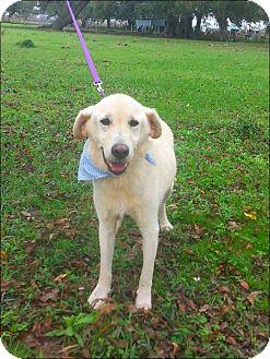 Labrador Retriever/Golden Retriever Mix Dog for adoption in Simsbury, Connecticut - Homer