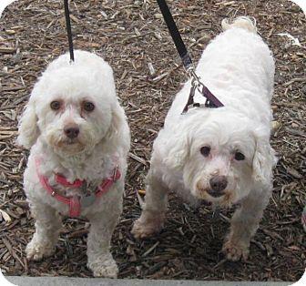 Poodle (Miniature) Mix Dog for adoption in Vista, California - Lily & Mia