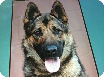 German Shepherd Dog Dog for adoption in Los Angeles, California - CESAR VON BERKUN