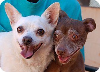 Chihuahua Mix Dog for adoption in Las Vegas, Nevada - Mariella
