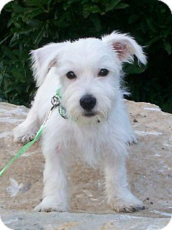 Westie, West Highland White Terrier Puppy for adoption in Sullivan, Missouri - Opie