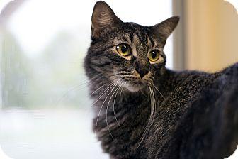 Domestic Mediumhair Cat for adoption in Fremont, Nebraska - Boomer