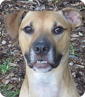 Black Mouth Cur/Labrador Retriever Mix Dog for adoption in St Petersburg, Florida - RooRoo ~ Video Social Outcast