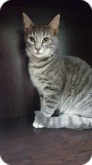 Domestic Shorthair Kitten for adoption in Albemarle, North Carolina - Franklin D Roosevelt