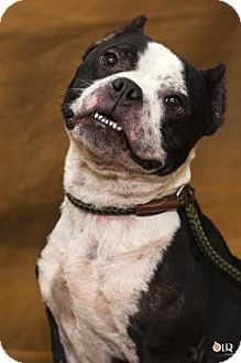 Pit Bull Terrier Mix Dog for adoption in Chesapeake, Virginia - Checkers 34580262