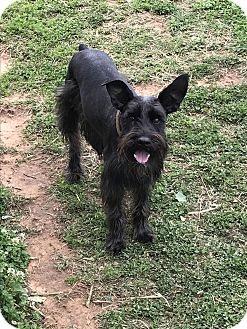 Schnauzer (Standard) Dog for adoption in Jennings, Oklahoma - Dodger