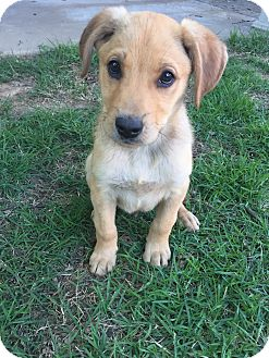 Labrador Retriever Mix Puppy for adoption in Rochester, New Hampshire - Jones