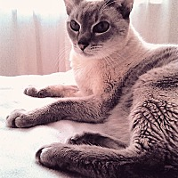 Siamese Cat for adoption in Toronto, Ontario - Snowy