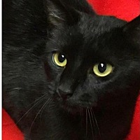 Domestic Shorthair Cat for adoption in Waggaman, Louisiana - Balboa