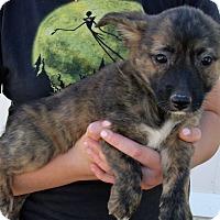 Adopt A Pet :: GIZMO'S PUPS G - Corona, CA