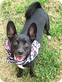 Chihuahua/Schipperke Mix Dog for adoption in Pilot Point, Texas - TINA