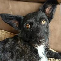 Adopt A Pet :: Baxter - Fredericksburg, TX