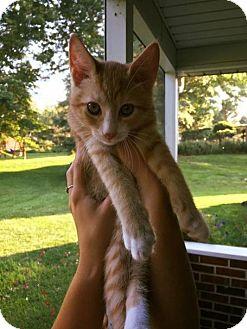 Domestic Shorthair Kitten for adoption in Jenkintown, Pennsylvania - Skylar - The Sky's the Limit!