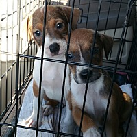 Adopt A Pet :: PUPPIES CP TH - Tampa, FL