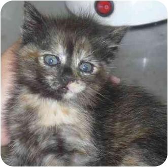 Domestic Mediumhair Kitten for adoption in Haughton, Louisiana - Tortie
